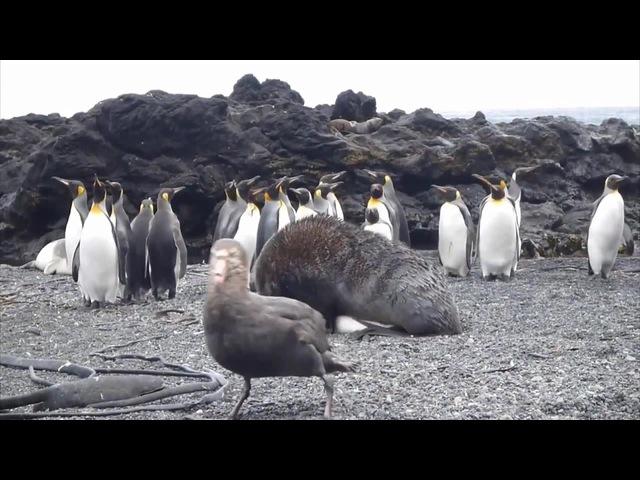 Antarctic fur seal sexually coerces king penguin