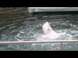 №3  Россия, Анапа, Утриш, дельфинарий, поющая и танцующая белуга, поющий кит