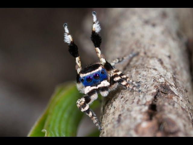 Maratus personatus – самый милый крошечный паук