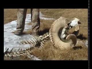 Памир. Охота на брана Марко Поло (RUS)