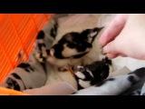 Осиротевшие птенцы Grallina cyanoleuca просят еды