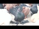 моя коллекция статные голуби