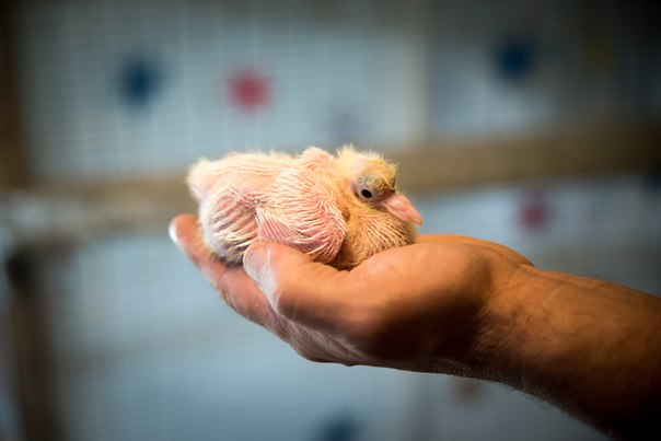 голуби Новосибирского крематория птенцы