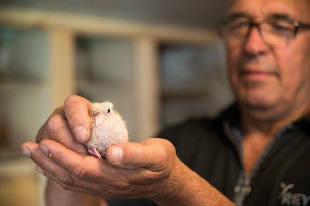 голуби Новосибирского крематория птенцы 1