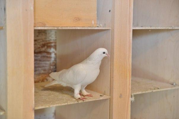 белые голуби Новосибирского крематория