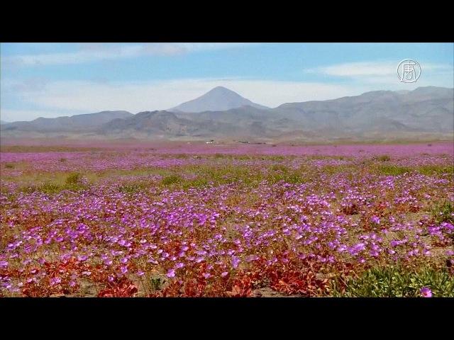 Зацвела самая засушливая пустыня планеты - Атакама (новости)