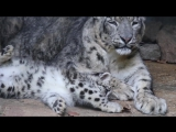 Peter Bolliger - The Snow leopard cubs – Zoo Basel,... Facebook