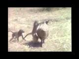 Обезьяны сбегают на кабане от аборигенов