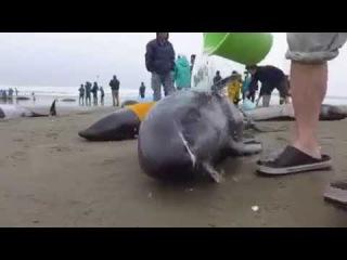 В Японии на берег выбросились 149 дельфинов