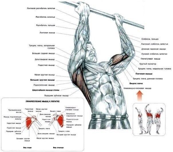 Подтягивания нейтральным или обратным хватом – лучшее упражнение для массы