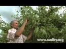 Летняя обрезка плодовых деревьев. Часть 2 || Ландшафтный Дизайн