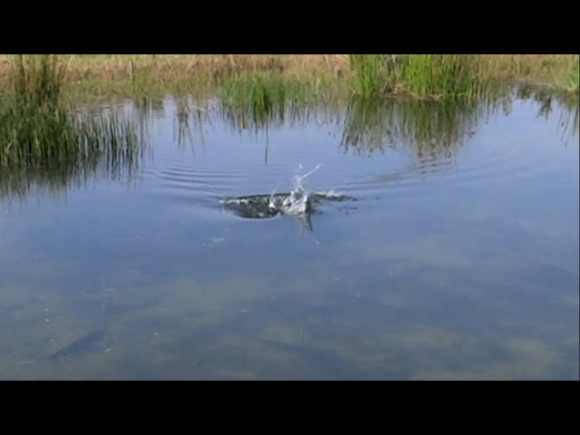 Форель атакует утёнка (приманку). Fishing: a big trout swallows a duckling (lure).