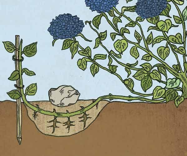 Два способа размножения гортензии