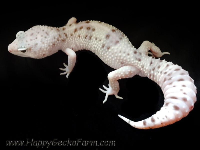 Eublepharis macularius,эублефар, пятнистый эублефар, геккон, леопардовый геккон, Leopard Gecko, ящерица, рептилия, ирбис