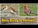 Rare Birds in Cornwall - Hoopoe, Green Heron, Wryneck, and More