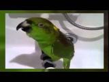 Попугай исполняет