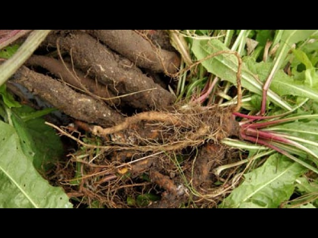 Очистка печени настойка из корней лопуха и одуванчика ~ народная медицина