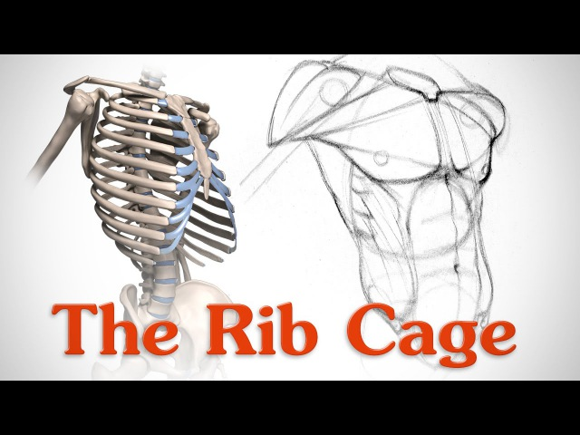Anatomy of the Rib Cage - for Artists