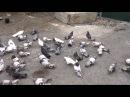Торцовые - Николаевские голуби. г.крым