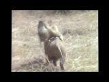 Обезьяны сбегают на кабане от папуасов