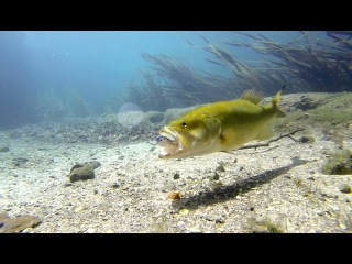 Bass Eats Lure in Ultra Clear Underwater Gopro Footage