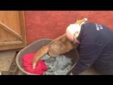 Оказавшись в приюте для собак, эта лиса очень быстро стала совершенно домашней и теперь ведет себя так, как обычная собака