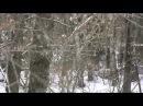 Охота на кабана с лайками.mp4