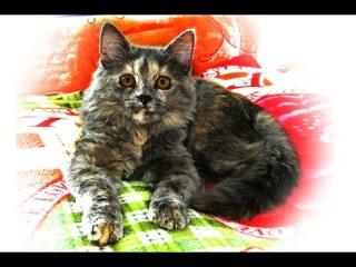 Cat Sonia likes to pose for the camera.  Кошка Соня любит позировать перед камерой.