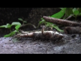 Ants carrying lizard Must SEE. truly amazing!