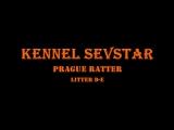 Пражский Крысарик, питомник SevStar, помёт Д - Е 2 месяца