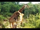 Прайд львов убивает жирафа в русле реки (Lion Pride Kill Giraffe in Riverbed)