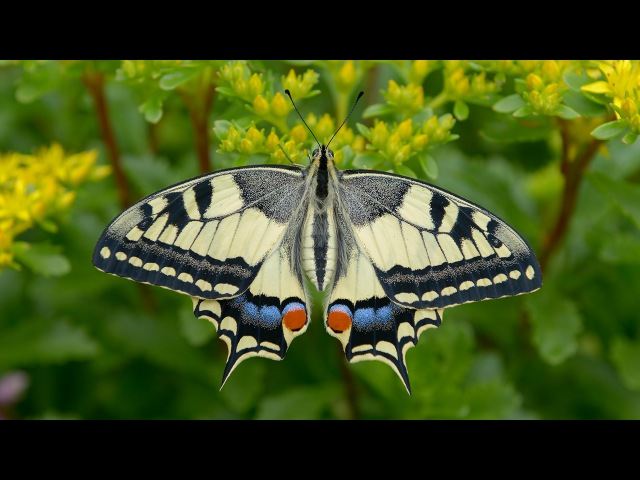 Махао́н (лат. Papilio machaon) — дневная бабочка из семейства парусников или кавалеров (лат. Papilionidae).