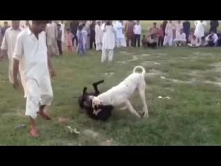 Собачьи бои булли кутты