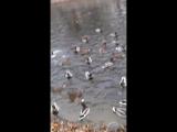 утки голодные