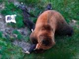Жесть Атака медведя на человека/животные/медведь убийца/нападение медведя на человека/онлайн/жесть/