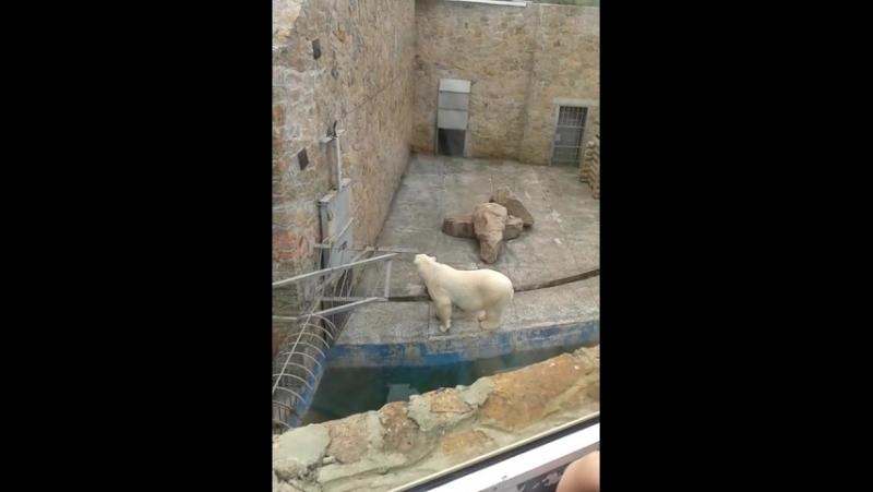 танец белого медведя в зоопарке челябинска