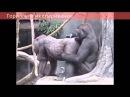Гориллы и их спаривание Gorillas and their pairing