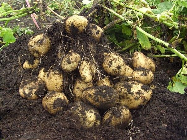 повышает ли картофель уровень холестерина