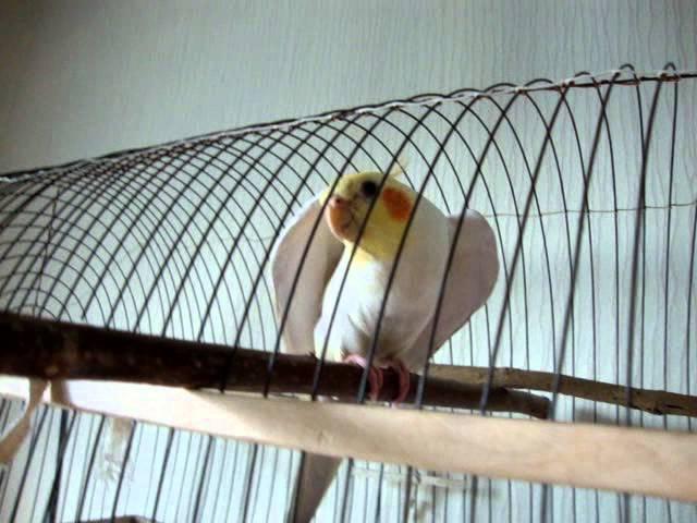 Говорящий попугай-корелла Тиша.