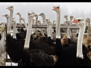Разведение страусов. Страусиная ферма. Прибыльный бизнес.