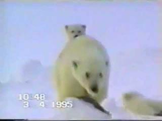 Спасение рядового Умки.Белые медведи.