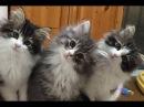 Синхронизированные котята мейн куна. СУПЕР синхронные действия!