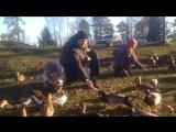 Голодные утки едят прямо с рук. Приозерск крепость Корела. 03.11.2015 год.