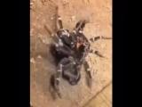 паук сбрасывать линьку