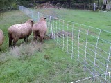 Sheep Touches Electric Fence