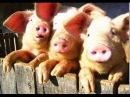 Очень страшное видео Как правильно кормить свиней - вот так!