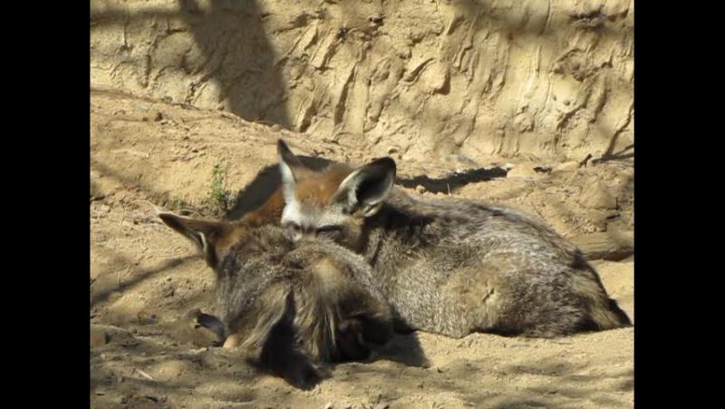 Bat-eared fox Большеухая лисица Otocyon megalotis. Пражский зоопарк