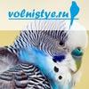 volnistye.ru - волнистые попугаи