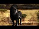 Черный Лев. дикий мир и животные в нем не тронутые человеком