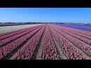 Dutch flower fields near Keukenhof, The Netherlands drone footage